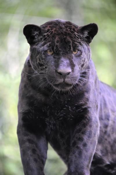 Image scolaire  zoo.beauval.jaguar.noir