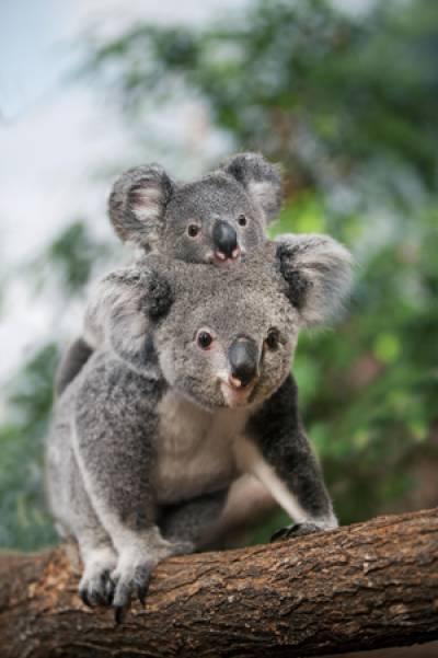 Image scolaire  zoo.beauval.koala