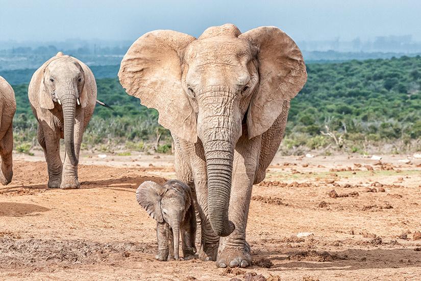 image Afrique Sud Elephant  it