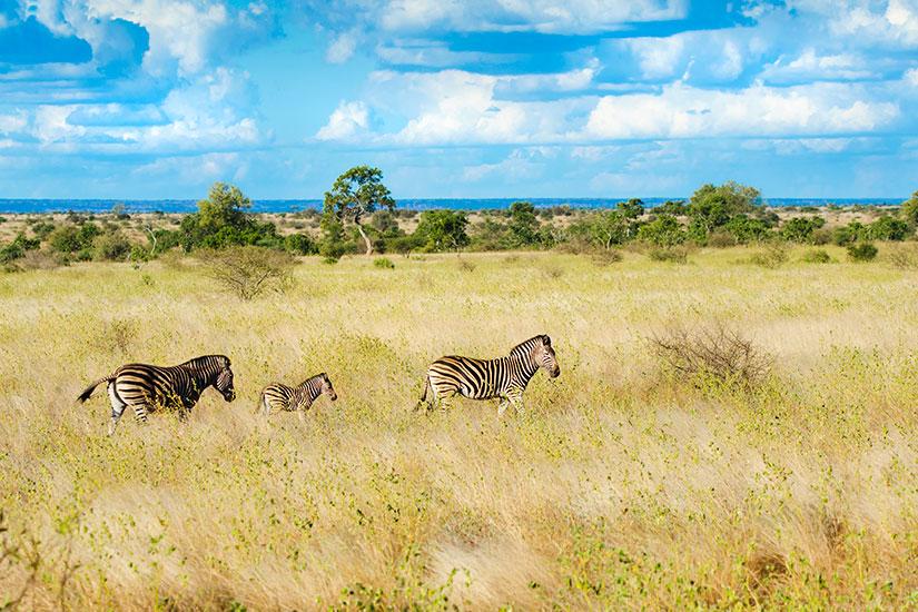 image Afrique Sud Kruger Zebre  it