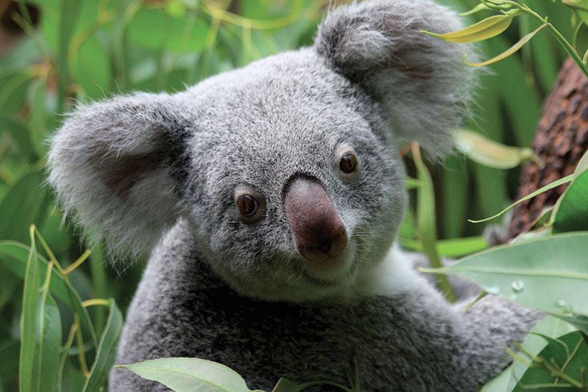 image Australie Koala  fo