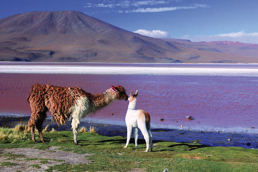 image Bolivie Alpaga Lac Laguna Colorada Lama  it