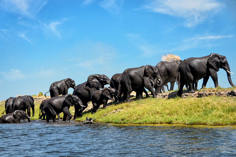 image Botswana Parc National Chobe elephant  it