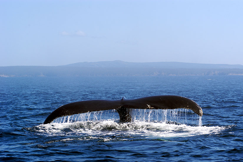 image Canada Bosse queue baleine  fo