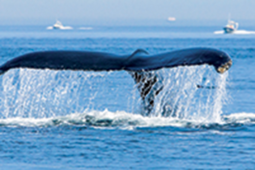 image Canada tadoussac whale diving 57 as_128376217