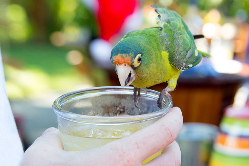 image Costa Rica Conure parrot cocktail  it
