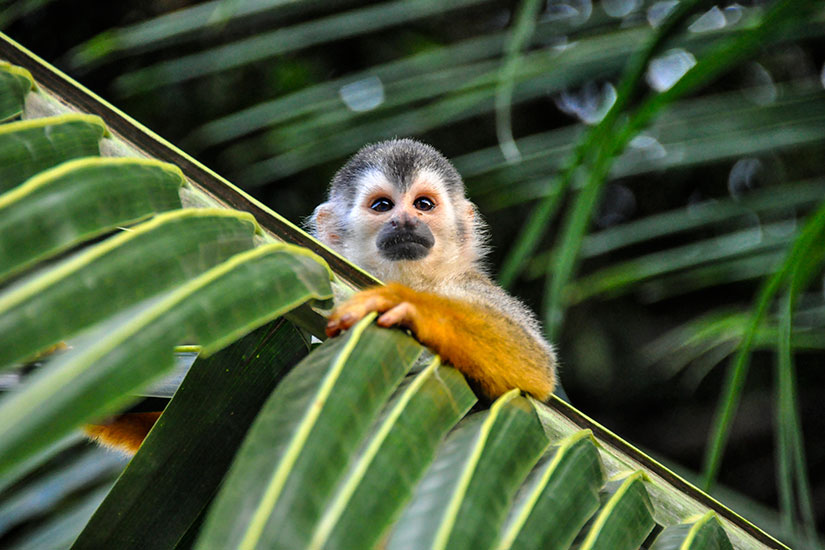 image Costa Rica Parc Antonio Manuel Petit Singe ecureuil  it