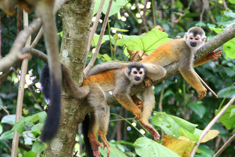 image Costa Rica singes  fo