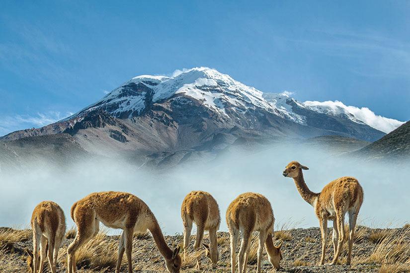 image Equateur Volcan Chimborazo Vicugnas  fo