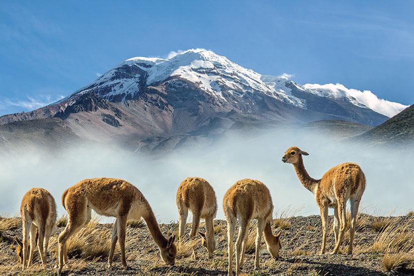 image Equateur Volcan Chimborazo vigognes au  pieds du volcan  fo