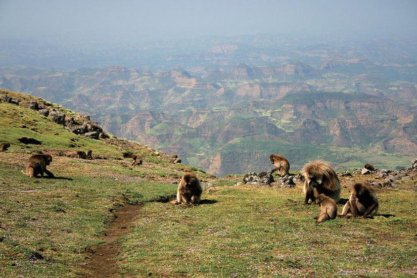 image Ethiopie Montagne du Simien Gelada baboons  it