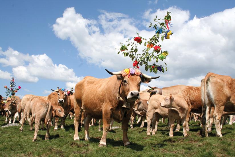 image France aubrac vache laitiere transhumance 27 fo_23022781