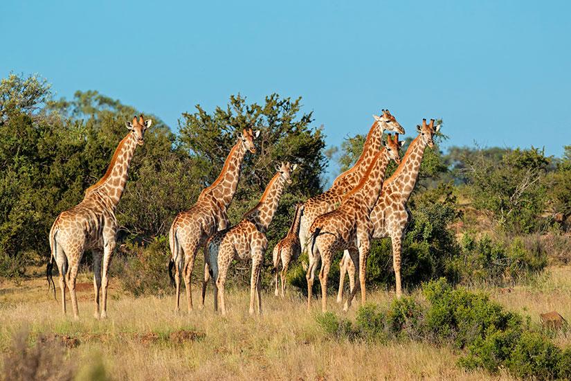 image Girafe  it