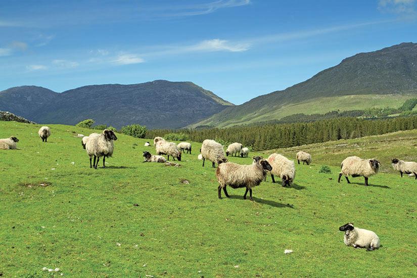 image Irlande Connemara Montagnes Les moutons et beliers  fo