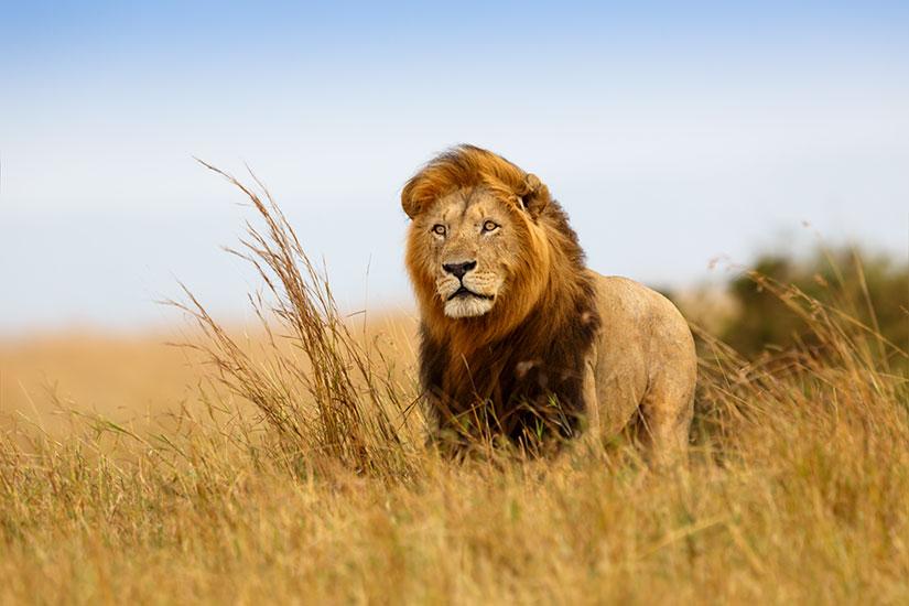 image Kenya Masai Mara Lion  it