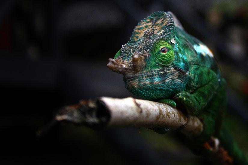 image Madagascar Andasibe chamaleon  fo