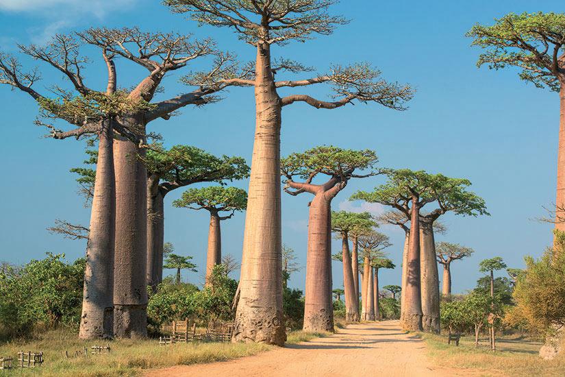 image Madagascar baobab arbre  it