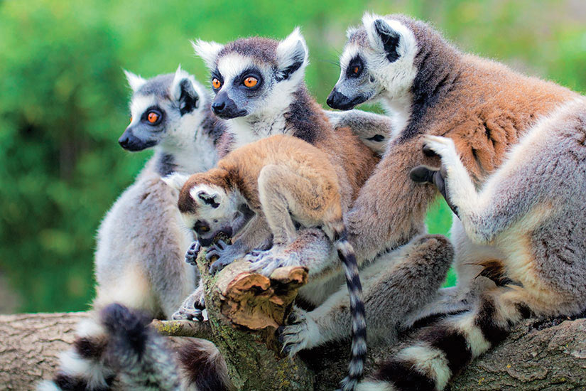 image Madagascar lemuriens  fo