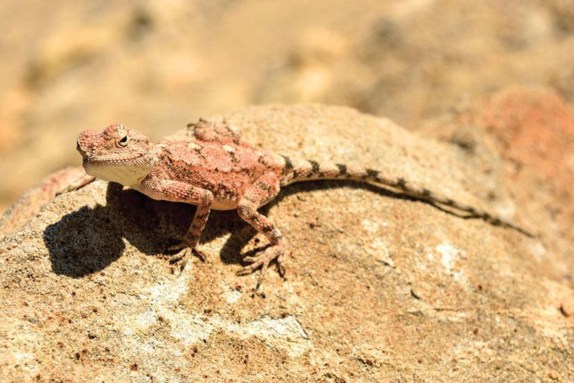 image Namibie Khorixas iezard mimetic a Petrified forest  fo