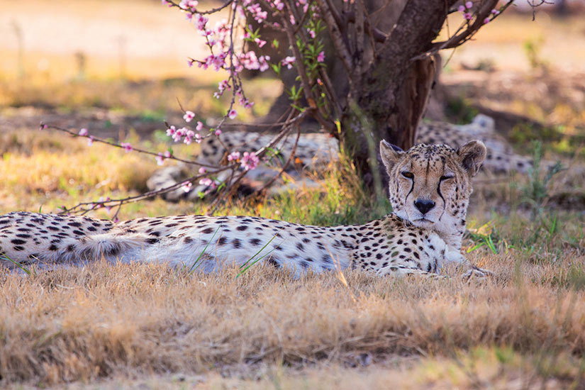 image Namibie Otjiwarongo Cheetah sous les cerisiers en fleurs  fo