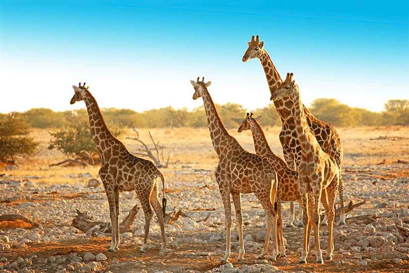 image Namibie Parc National Etosha Famille girafes  it