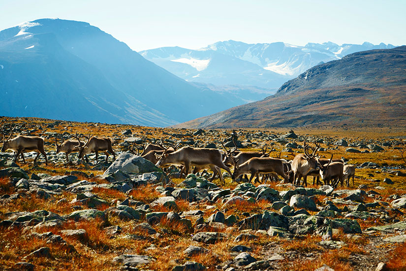 image Norvege Parc national Jotunheimen renne  it