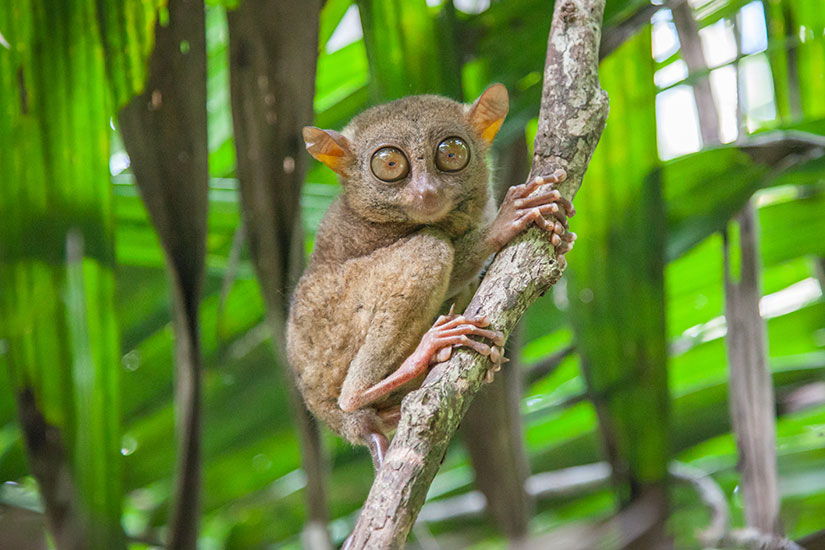 image Philippines Tarsier Tarsius  it
