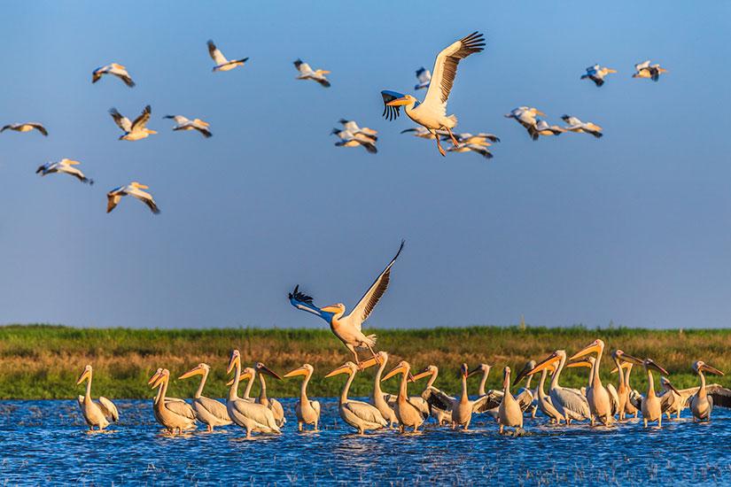 image Roumanie Delta Danube Pelican  it