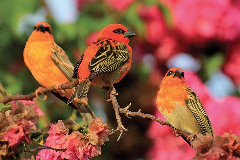 image Seychelles Cardinal des oieaux colorees  fo