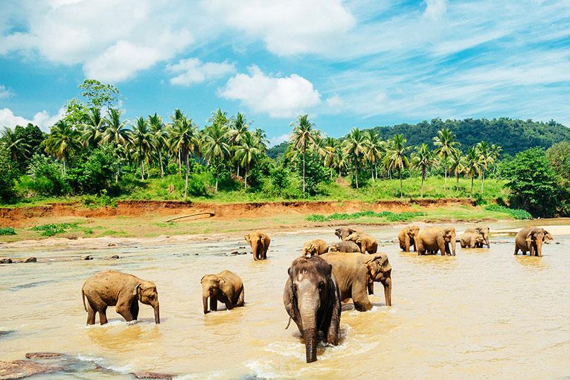 image Sri Lanka Elephant Pinnawala Orphelinat  it