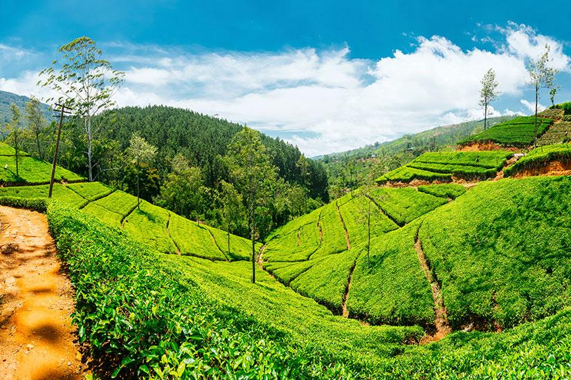 image Sri Lanka Nuwara Eliya plantations the  it