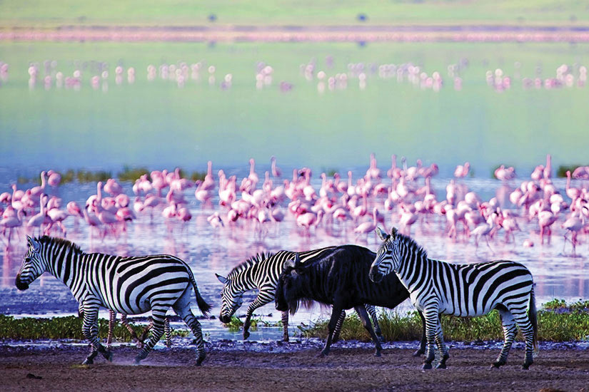 image Tanzanie Ngorongoro Zebres et gnous  fo