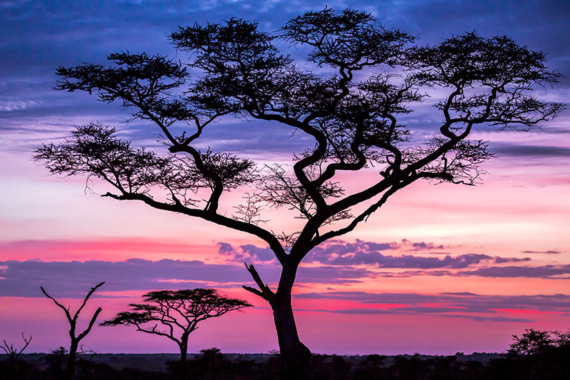 image Tanzanie Serengeti Acacia arbres  it