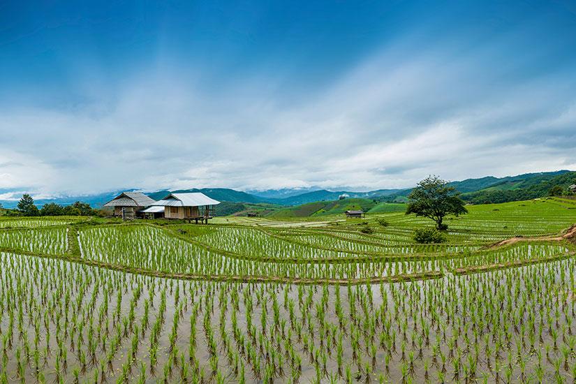 image Thailande Chiang Mai Rizieres  it