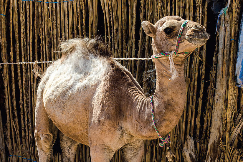 image Tunisie jeune camel  it