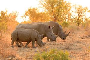 afrique du sud parc kruger rhinoceros 11 it 838552512