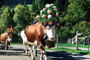 vignette Autriche transhumance vache fo