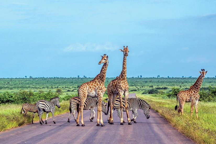 (image) image Parc national des girafes et des plaines de zebre a Kruger Afrique du Sud 74 as_186875337