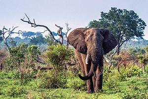 afrique du sud parc kruger elephant  fo