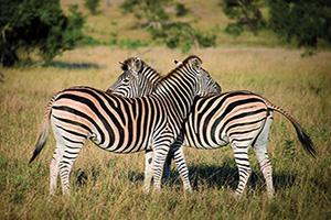 afrique du sud deux zebres  fo