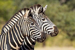 nt aafrique du sud parc kruger zebre  fo not found