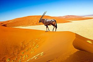 namibie sossusvlei dunes oryx  it