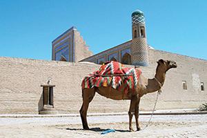 ouzbekistan khiva camel  it
