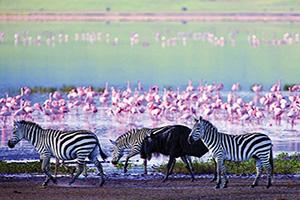 tanzanie ngorongoro zebres et gnous  fo