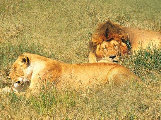 voyage afrique du sud lion savane