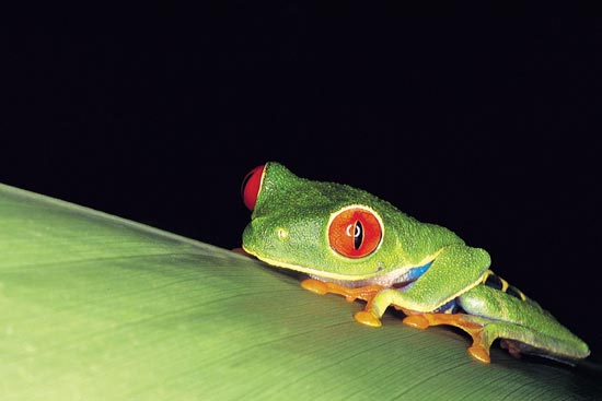 voyage costa rica grenouille