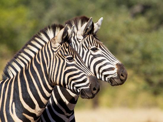 NT afrique du sud parc kruger zebre  fotolia