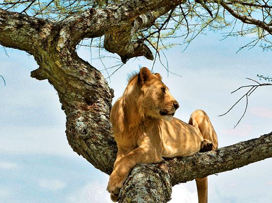 afrique du sud 2012 lionne